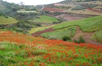 poppies-near-juncalillo